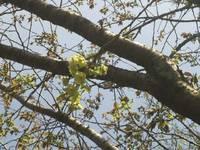 御衣黄(ぎょいこう)桜