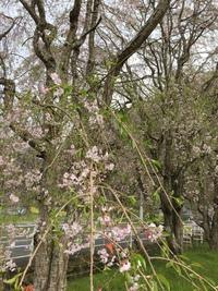 桜も終わりに近づいて