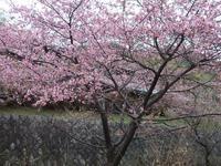 桜まつり開催します!