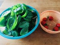 そのまんまdeミニトマト初収穫&追肥