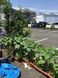 フリーダムの前に植えたジャンボヒマワリ