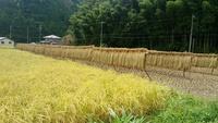 今年も稲刈りの時期になりました。