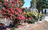 富士市ロゼシアターの薔薇