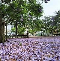 ジャカランダのじゅうたんと夏至翌日の富士山