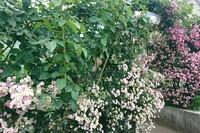 恋文の日、五月の薔薇ラン