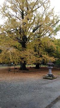 富士山西山本門寺の大銀杏