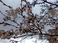 六合地区の桜も咲きだしました