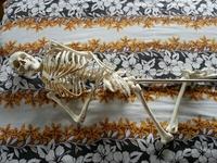 ガイコツ・骸骨