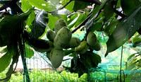 果樹の消毒と成長