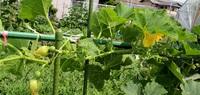 果樹 野菜の貴重な梅雨の晴れ間